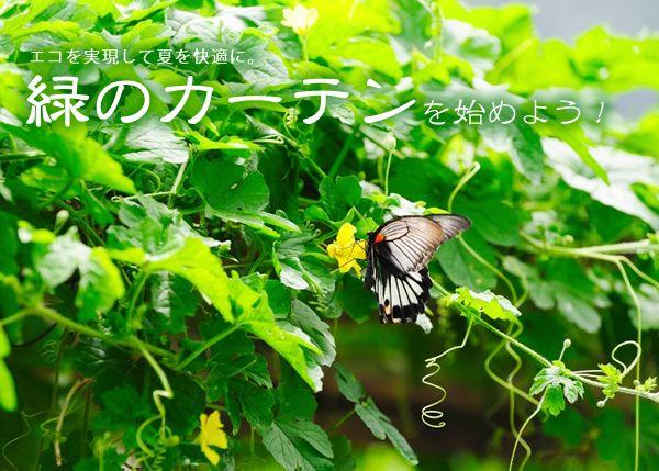 エコを実現して夏を快適にする緑のカーテンを始めよう!